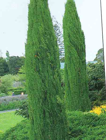 zypresse cupressus sempervirens